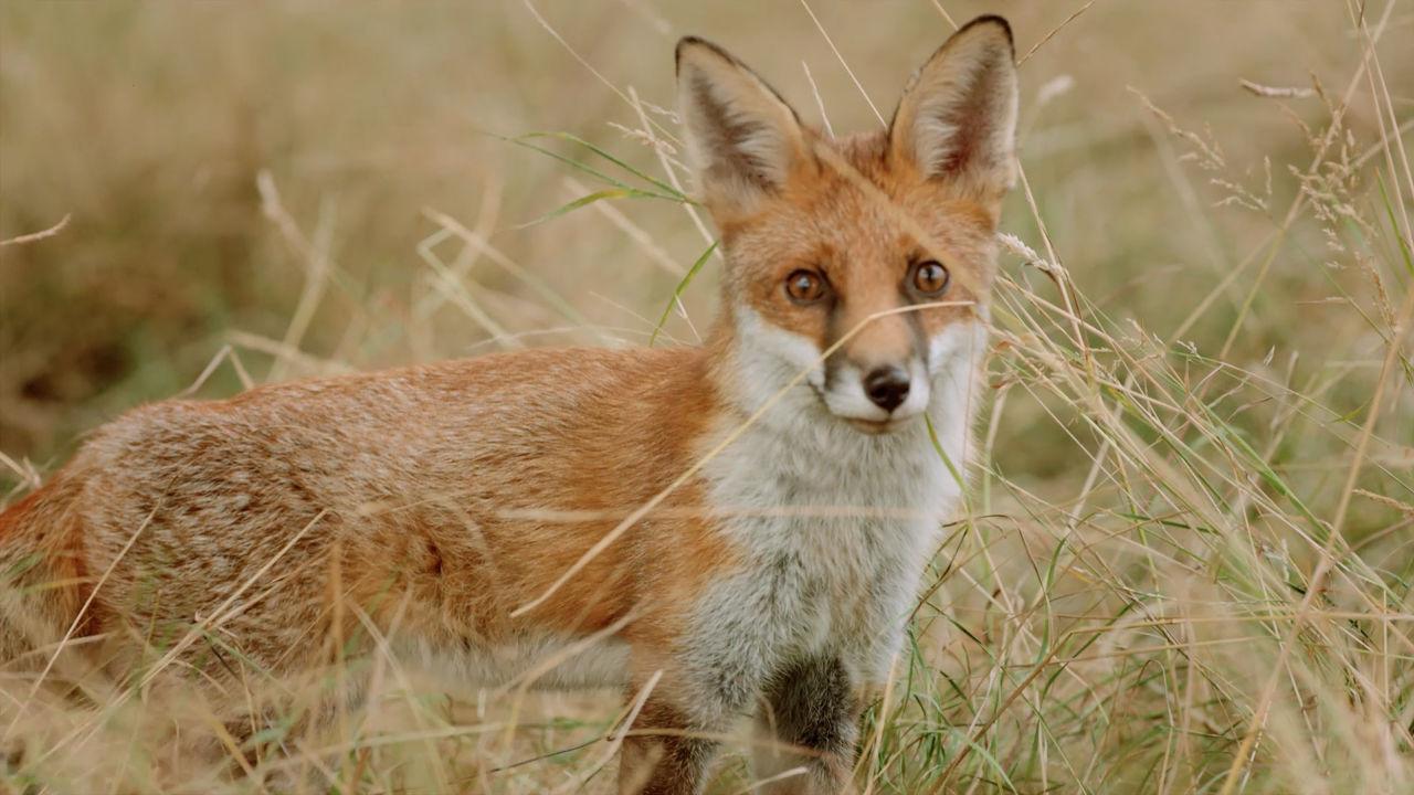 Fox Golf