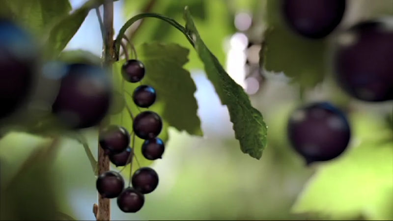 Bursting With Tasty Berryness