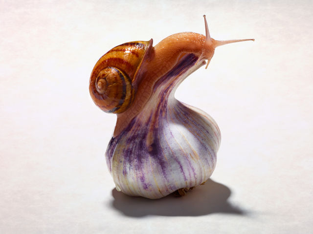 Garlic Snail